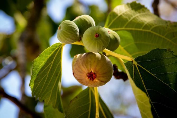 figs on fig tree